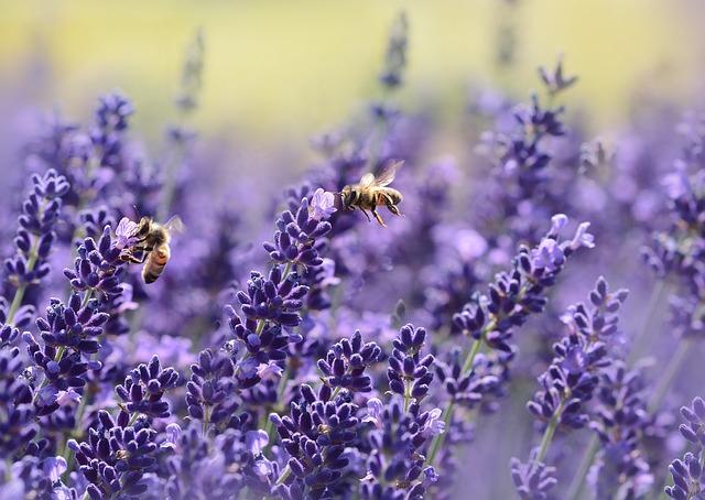 lavande, abeilles, été
