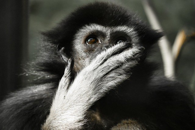 des animaux, singe, gibbon